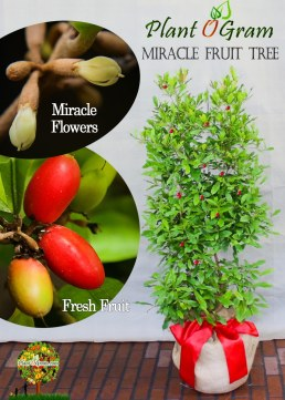 miraclefruit tree